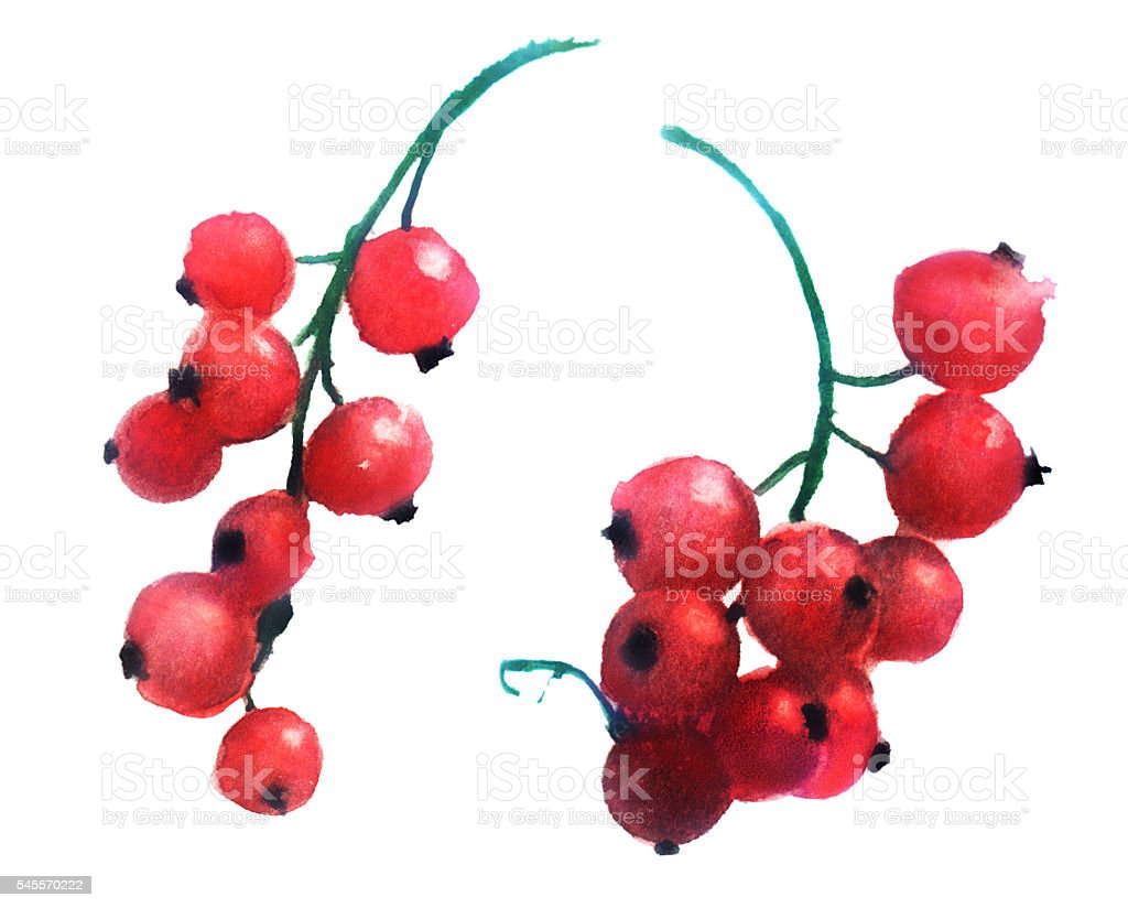 watercolor sketch: red currants on a white background vector art illustration