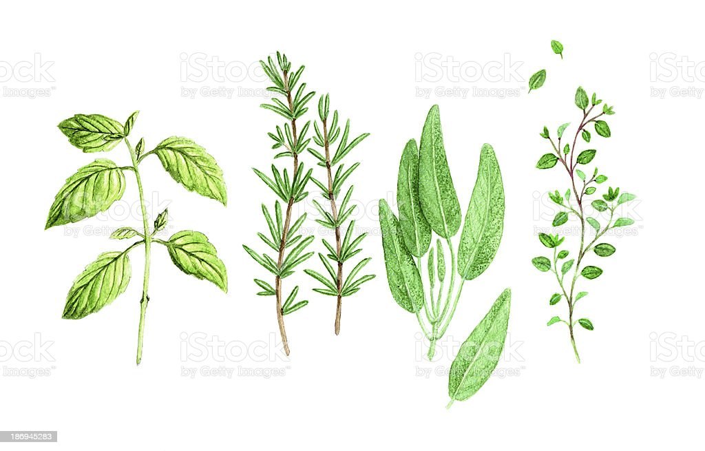 Watercolor Spicy Provence Herbs vector art illustration