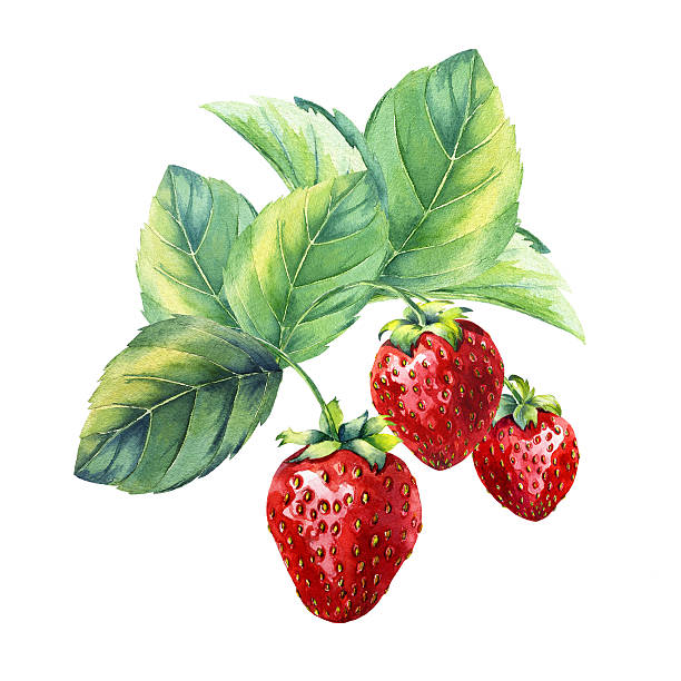 watercolor strawberry branch vector art illustration