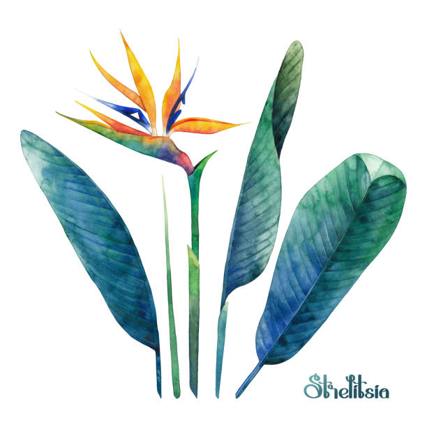 Watercolor strelitzia collection Watercolor strelitzia coletcion. Hand painted exotic leaves and flowers isolated on white background bird of paradise plant stock illustrations