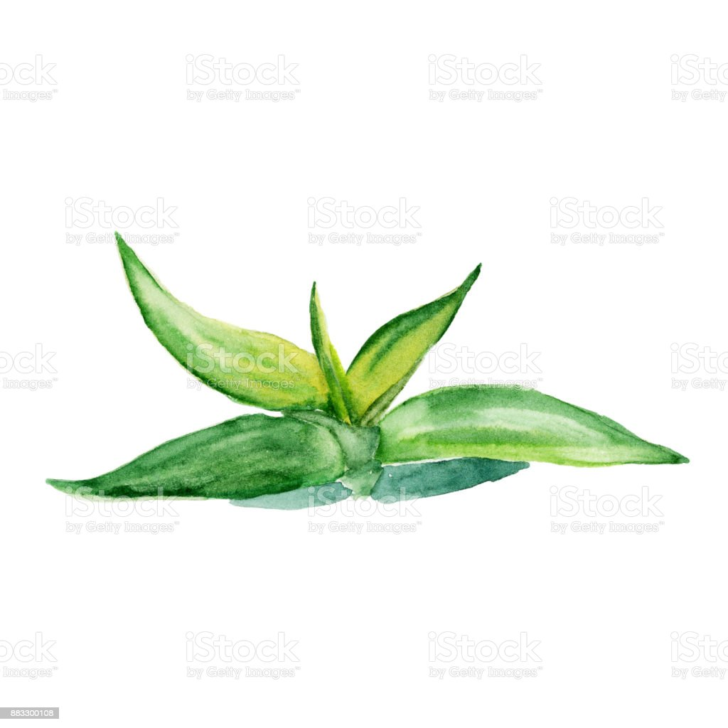 Watercolor succulent aloe. Original hand drawn watercolor painting isolated on white vector art illustration