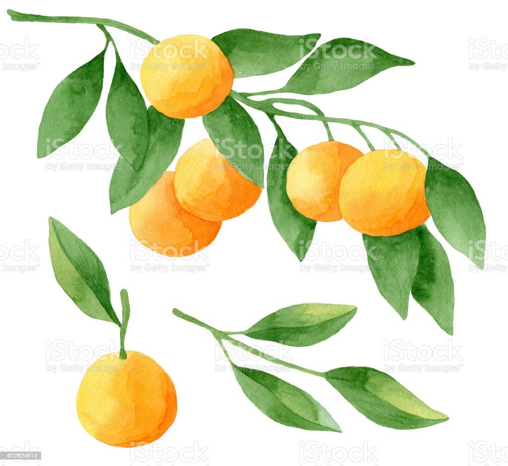 Watercolor tangerines set vector art illustration