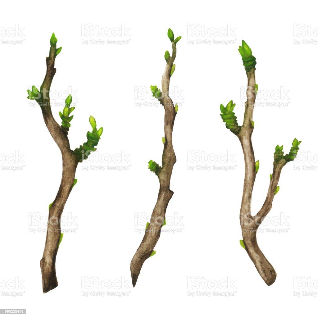 Suluboya Ağaç Dalları Yeşil Tomurcukları Beyaz Arka Plan üzerinde
