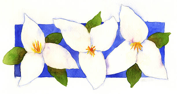 Watercolor Trilliums  trillium stock illustrations