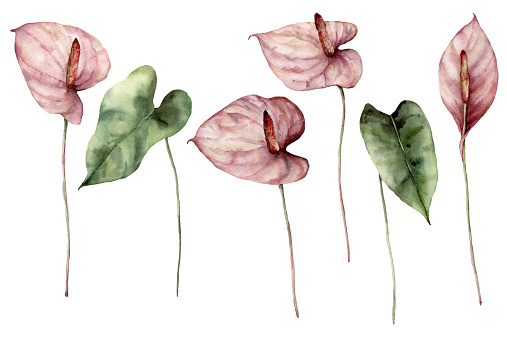 Watercolor tropic set with anthurium. Hand painted flowers and leaves isolated on white background. Botanical floral illustration for design, print, fabric or background.