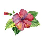 Watercolor tropical flower, red pink hibiscus with leaves and Bud.