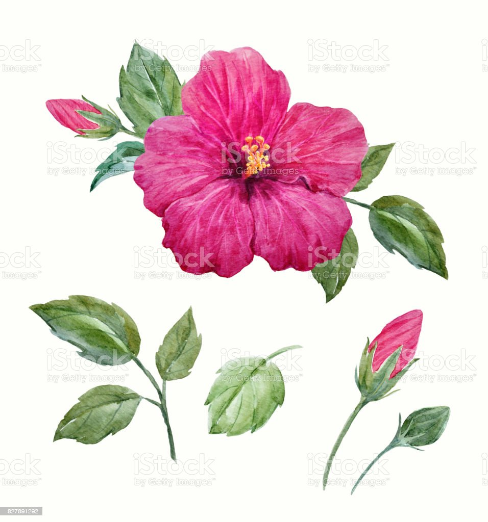 Watercolor Tropical Hibiscus Flower Stock Vector Art More Images
