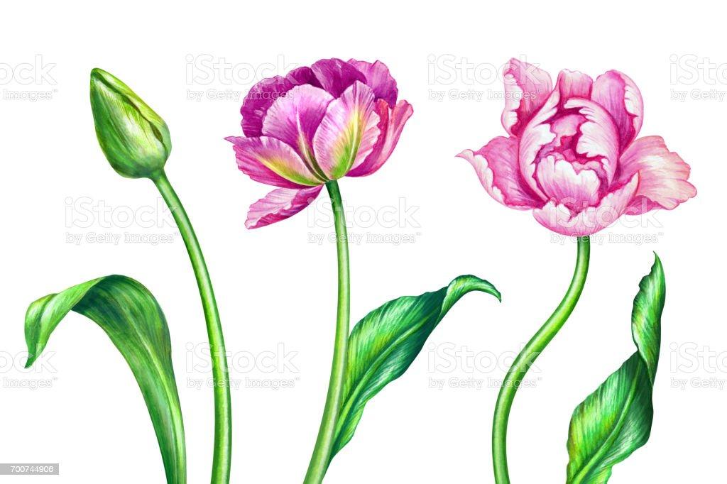 Sulu Boya Lale Botanik Illustrasyon Beyaz Arka Plan Uzerinde Izole