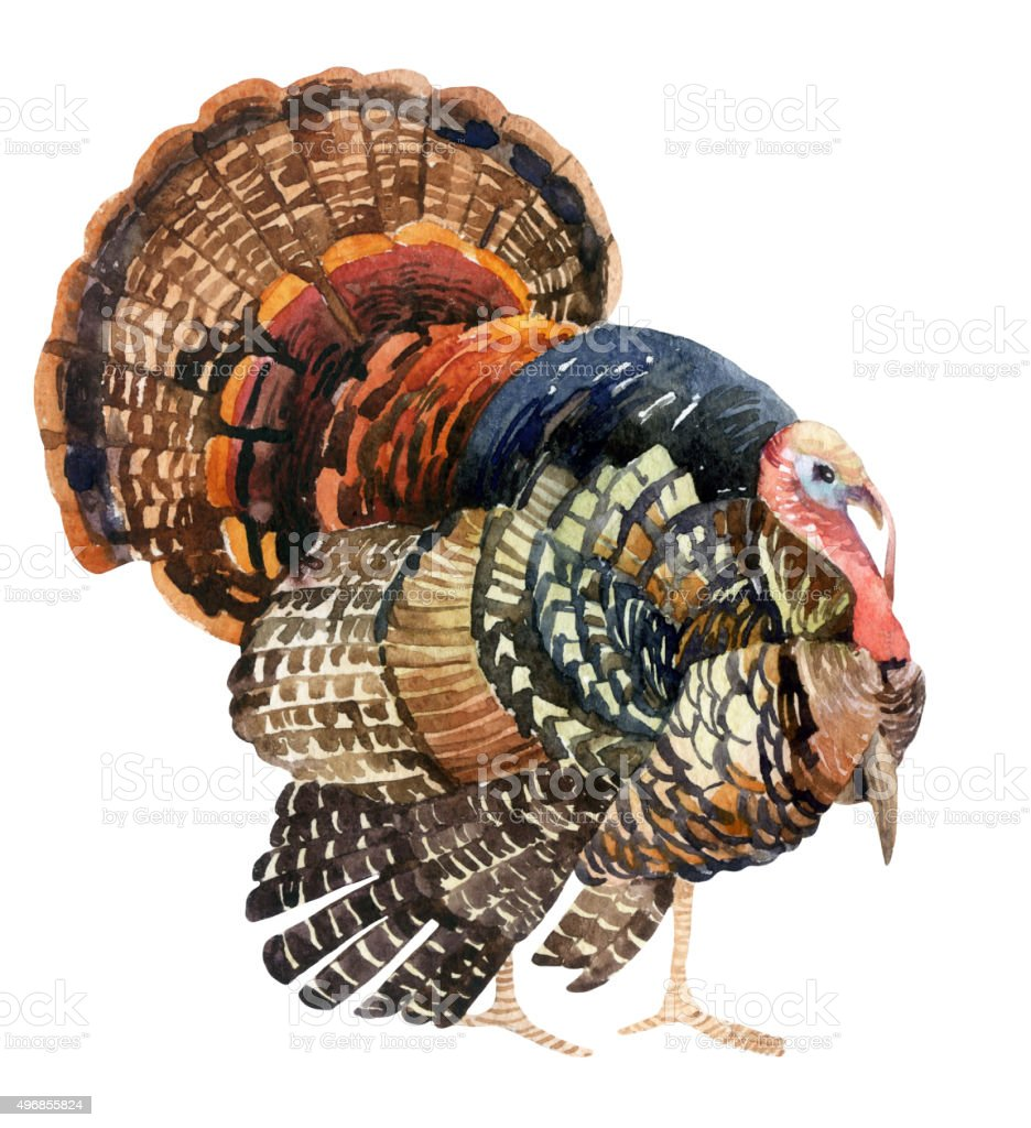 Watercolor turkey isolated on the white background vector art illustration
