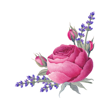 Watercolor vintage rose, lavender flowers and leaves. Botanical illustration. Isolated on white background.