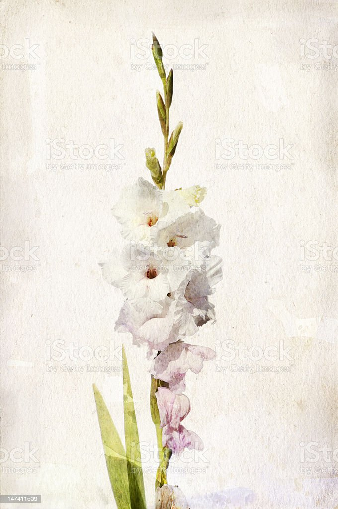 Watercolor white gladiolus vector art illustration