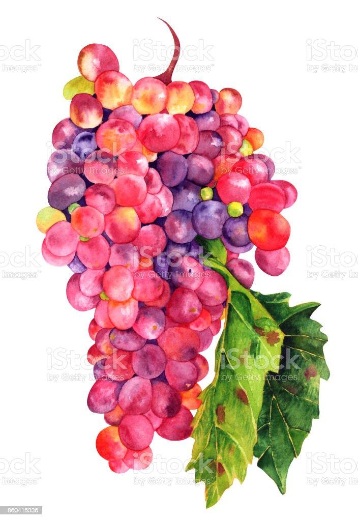 Suluboya şarap üzüm Yaprağı üzerinde Beyaz Izole Stok Vektör Sanatı