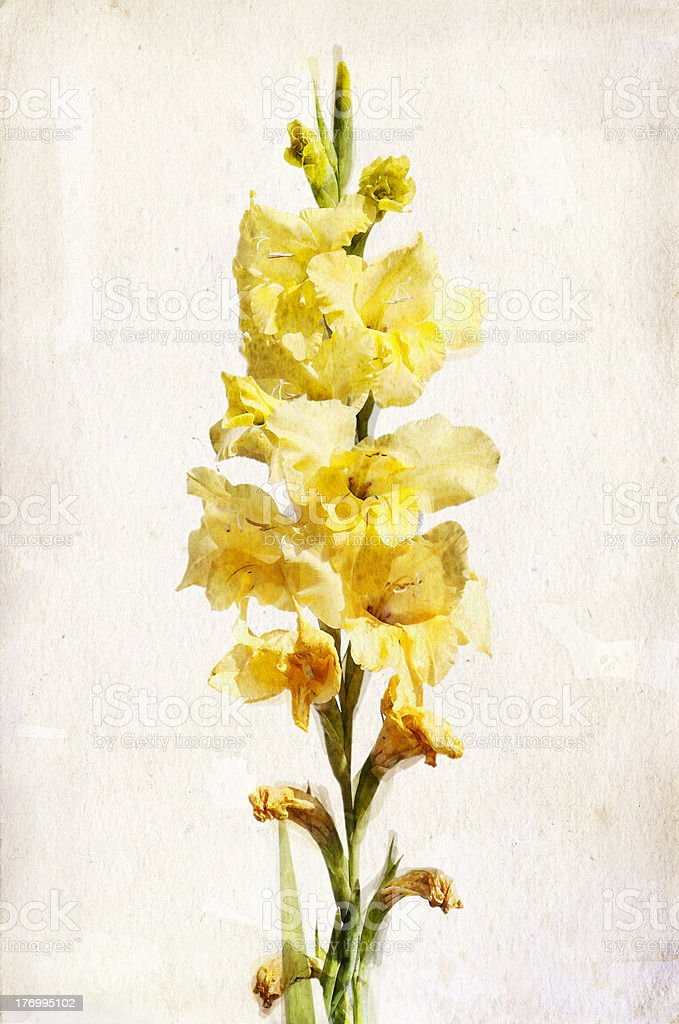Watercolor yellow gladiolus vector art illustration