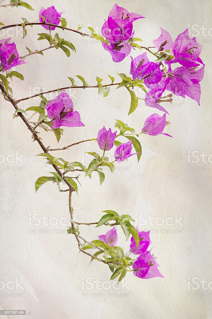 Watercolored Bougainvilleas - ilustración de arte vectorial