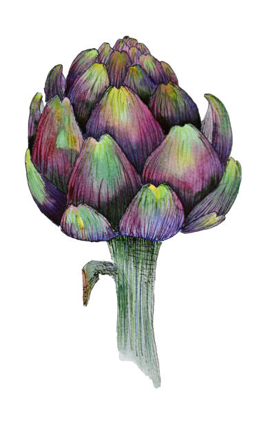 Watercolour artichoke on white background Watercolour illustration of bright artichoke on white background artichoke stock illustrations
