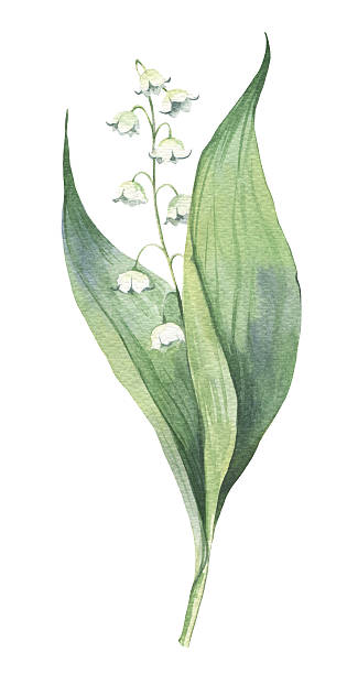 Watercolour may-lily flower illustration Watercolour hand-drawn early spring may-lily flower illustration lily of the valley stock illustrations