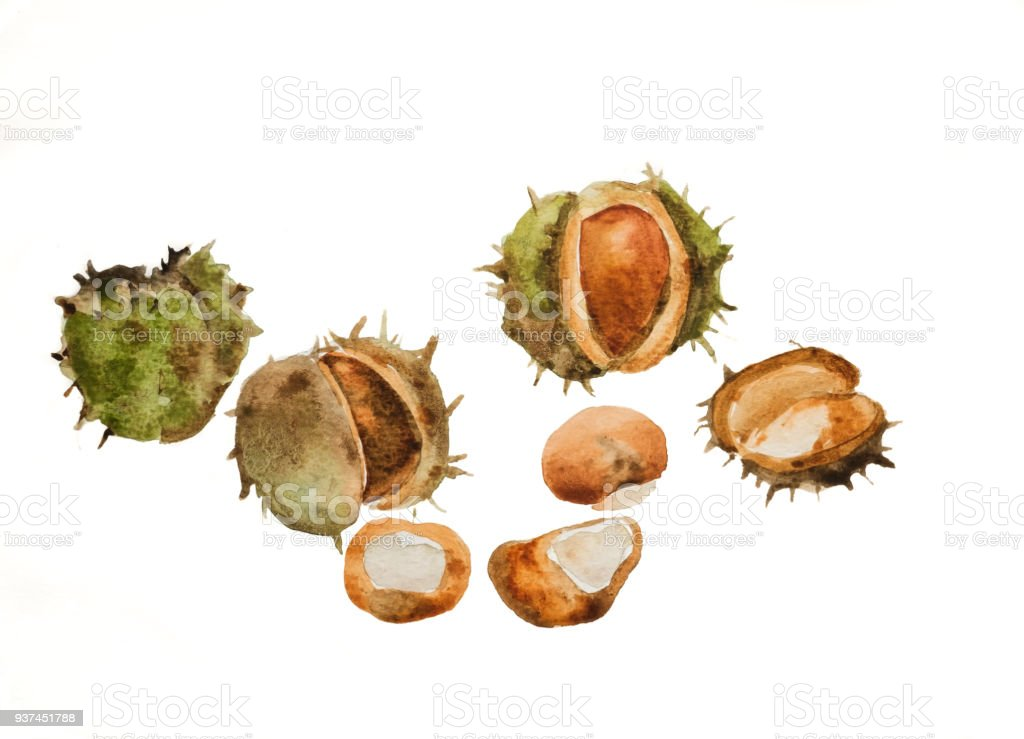 Watercolour painting of a group of conkers vector art illustration