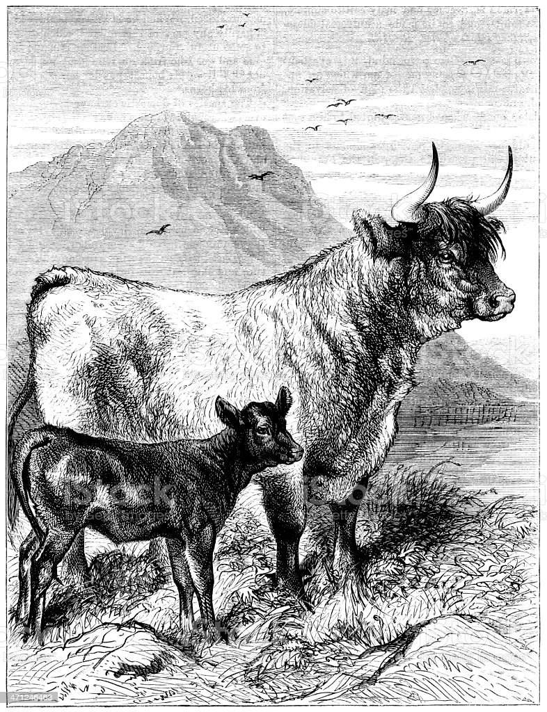West Highland cow and calf (Victorian illustration) royalty-free stock vector art