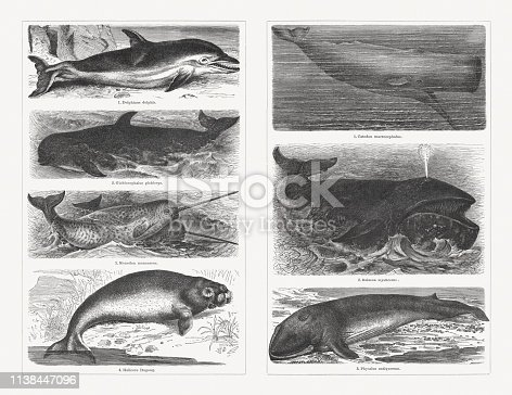 Whales, left side: 1) Dolphin (Delphinus delphis); 2) Long-finned pilot whale (Globicephala melas, or Globiocephalus globiceps); 3) Narwhal (Monodon monoceros); 4) Dugong (Dugong dugon, or Halicore dugong). Right side: 1) Sperm whale (Physeter macrocephalus, or Catodon macrocephalus); 2) Bowhead whale (Balaena mysticetus); 3) Fin whale (Balaenoptera physalus, or Physalus antiquorum). Wood engravings, published in 1897.