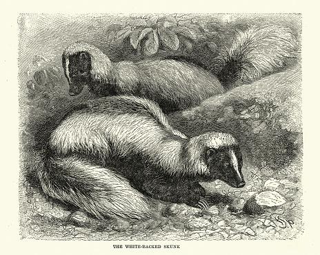 White backed skunks