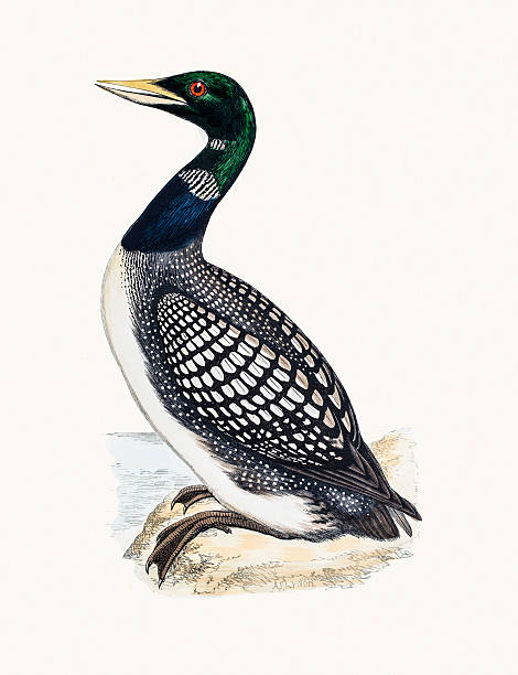 White Billed Northern Loon A photograph of an original hand-colored engraving from The History of British Birds by Morris published in 1853-1891. loon bird stock illustrations