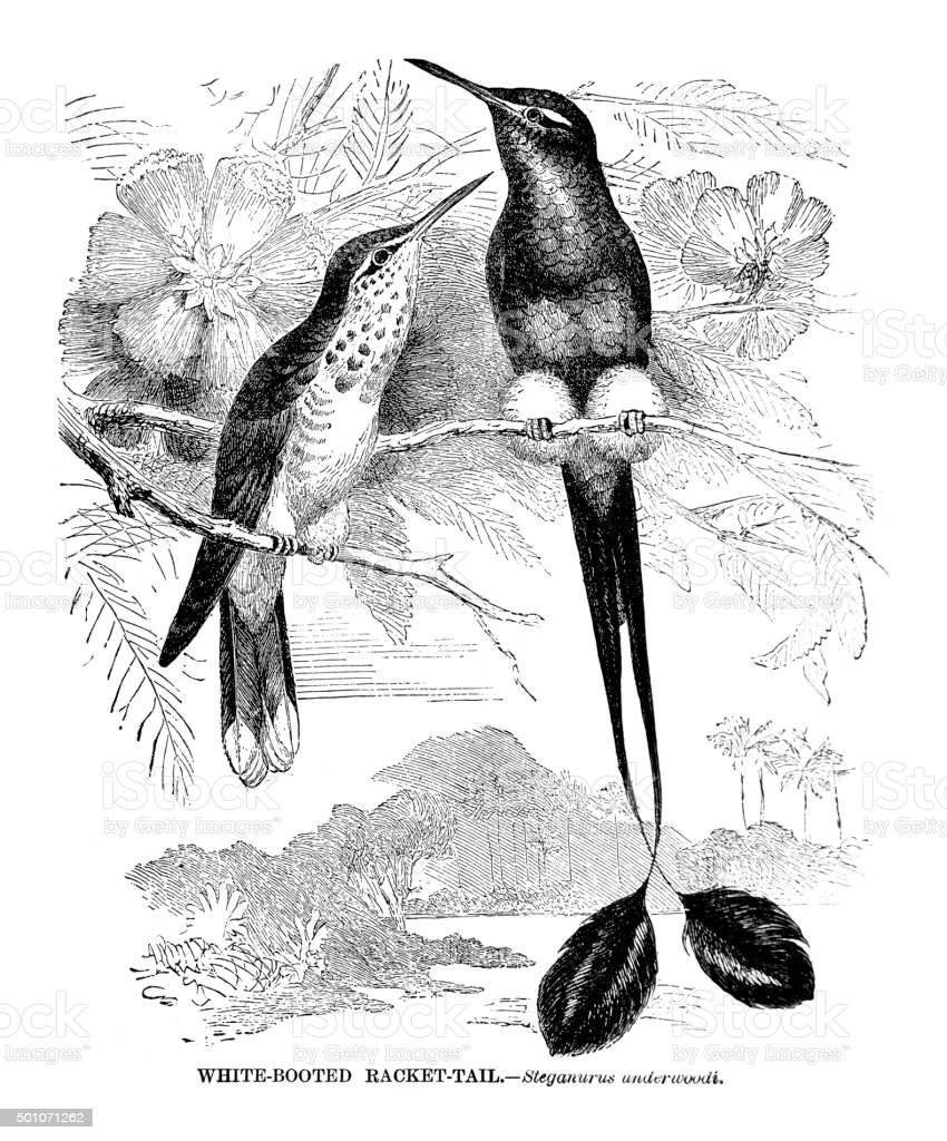 White booted Racket-tail vector art illustration