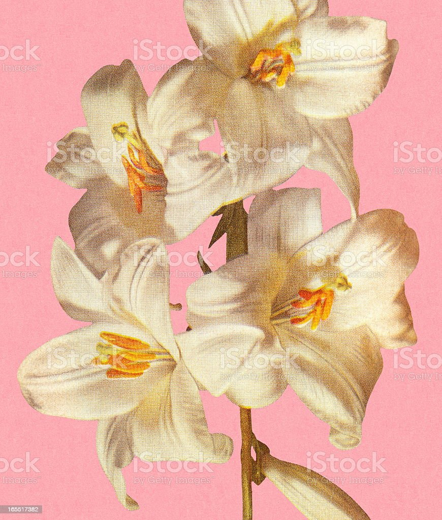 White Lilies royalty-free stock vector art
