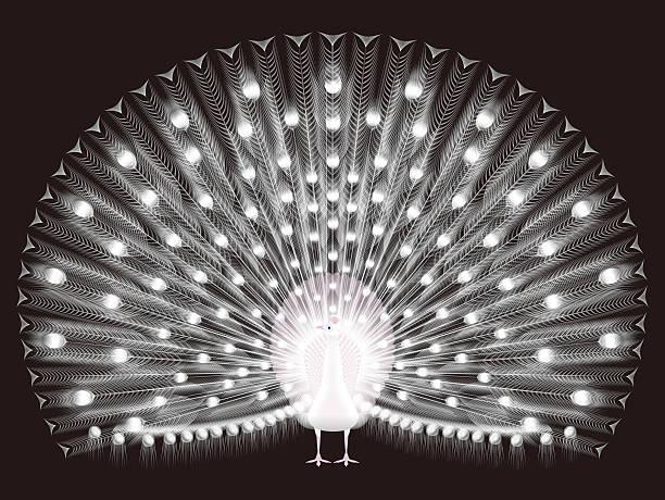 Paon blanc - Illustration vectorielle