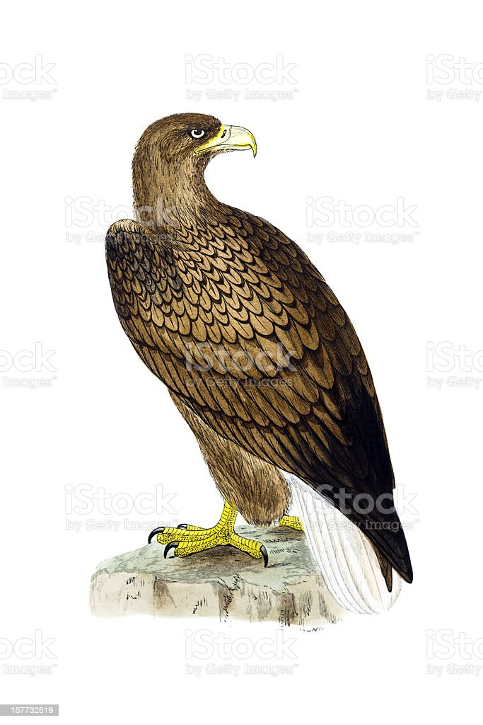 White Tailed Sea Eagle - Hand Coloured Engraving vector art illustration