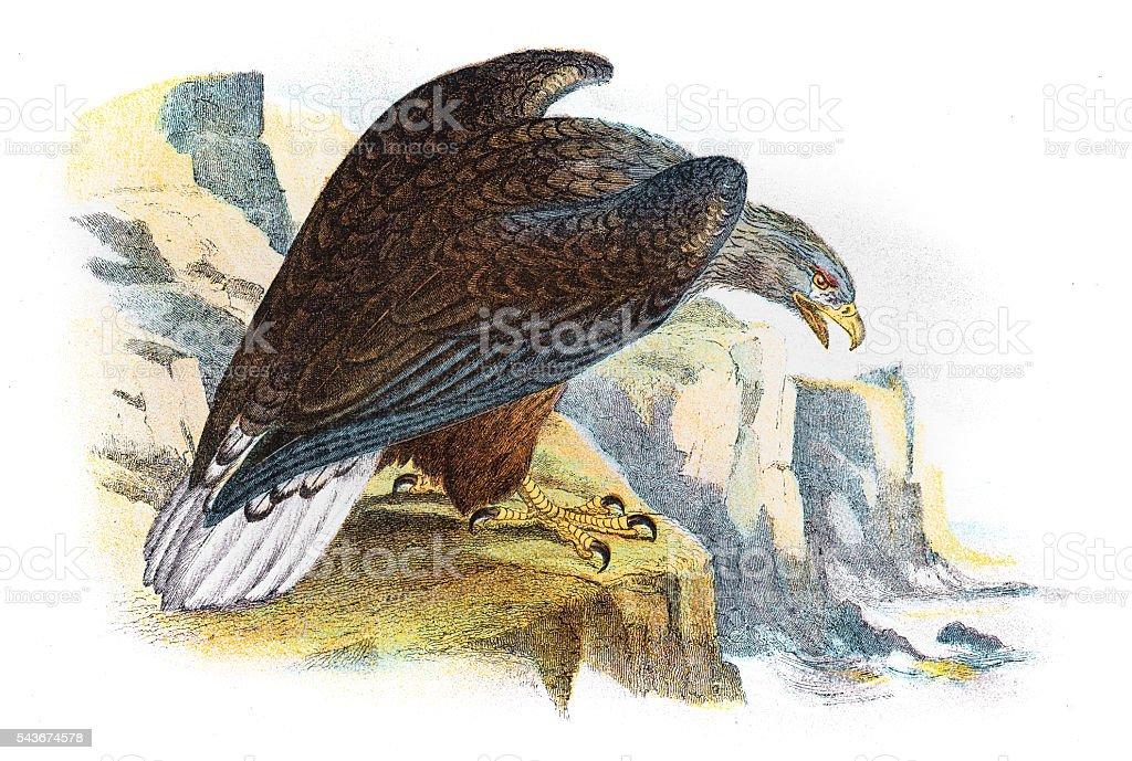 White tailed sea eagle illustration 1896 vector art illustration
