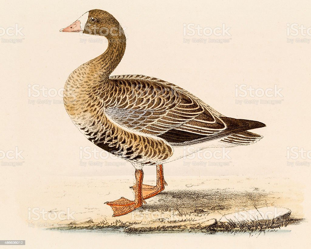 White-fronted goose , 19 century science illustration vector art illustration
