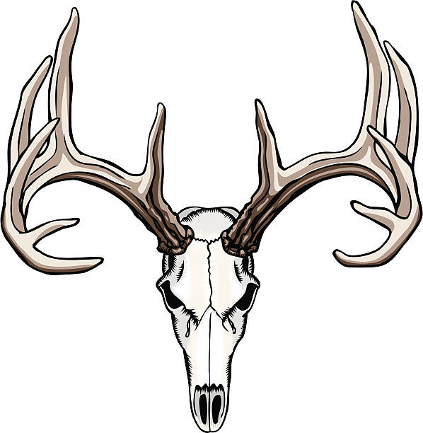 whitetail deer skull and antlers - deer antlers stock illustrations, clip art, cartoons, & icons