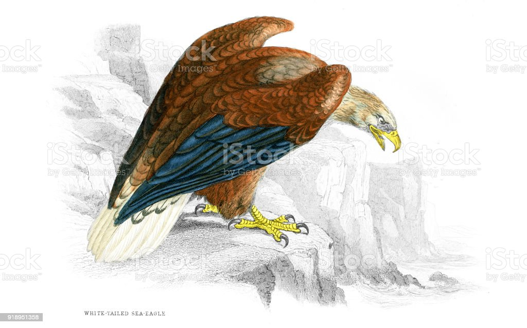 White-tailed sea eagle vector art illustration