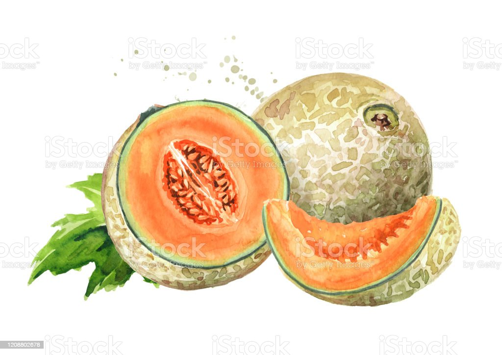 Whole Half And Sliced Cantaloupe Melon With Leaf Watercolor Hand Drawn Illustration Isolated On White Background Stock Illustration Download Image Now Istock ✓ free for commercial use ✓ high quality images. whole half and sliced cantaloupe melon with leaf watercolor hand drawn illustration isolated on white background stock illustration download image now istock