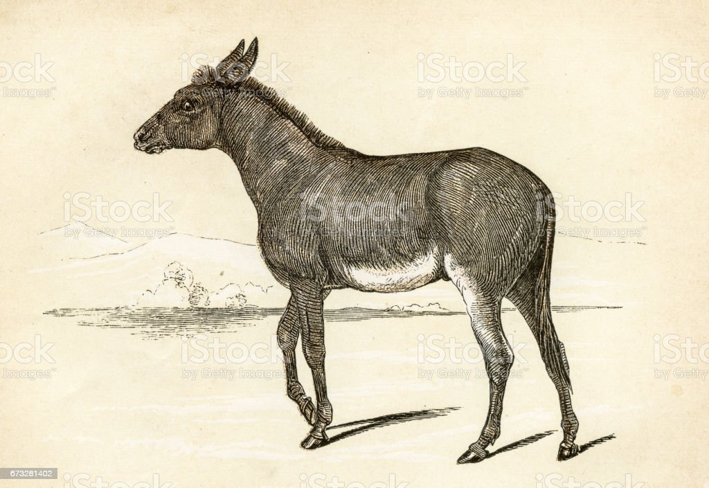 Wild ass  engraving 1851 vector art illustration