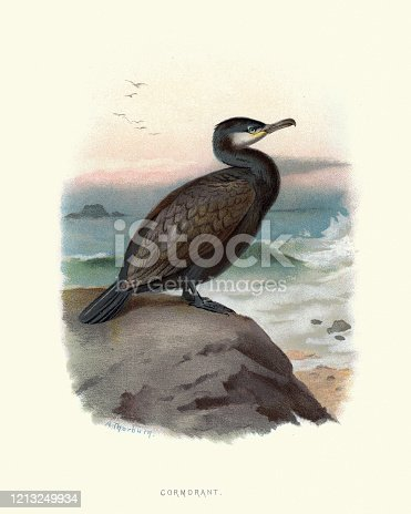 Vintage engraving of European shag or common shag (Phalacrocorax aristotelis) is a species of cormorant. It breeds around the rocky coasts of western and southern Europe. Familiar Wild Birds by Swaysland, Walter 19th Century