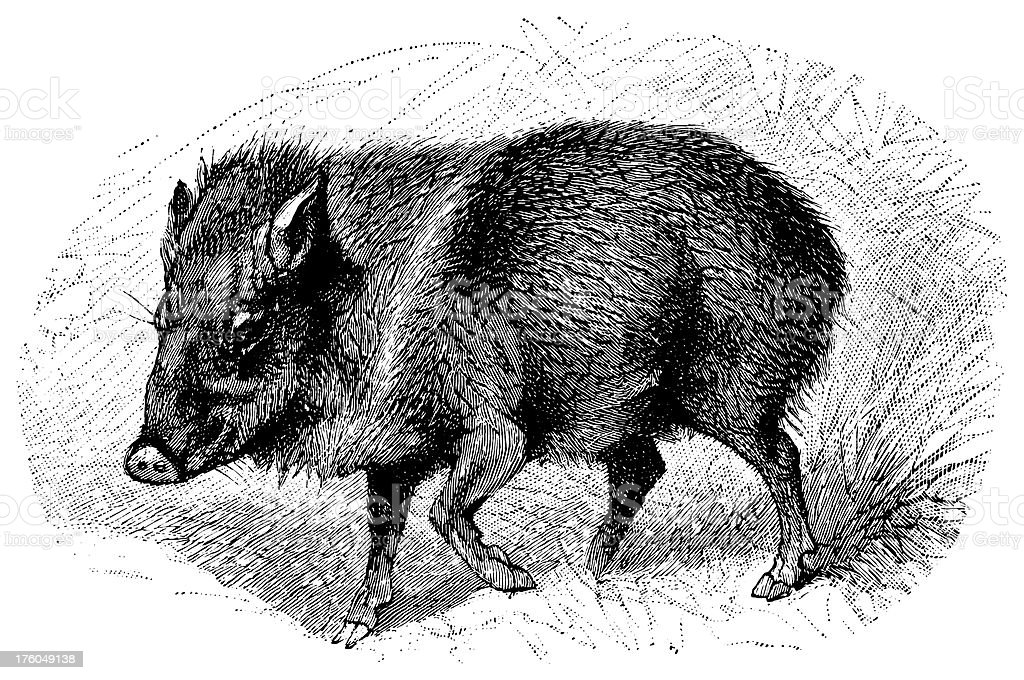 Wild boar | Antique Animal Illustrations royalty-free wild boar antique animal illustrations stock vector art & more images of 19th century