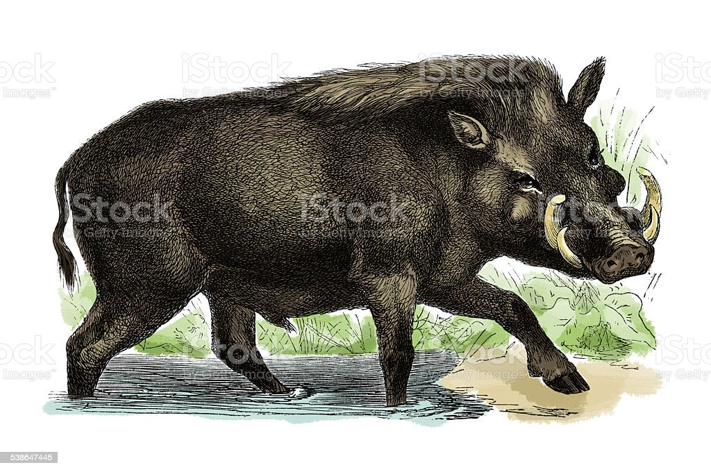 Wild boar (antique engraving) vector art illustration