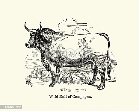 Vintage engraving of a Wild bull of Campagna, 19th century engraving