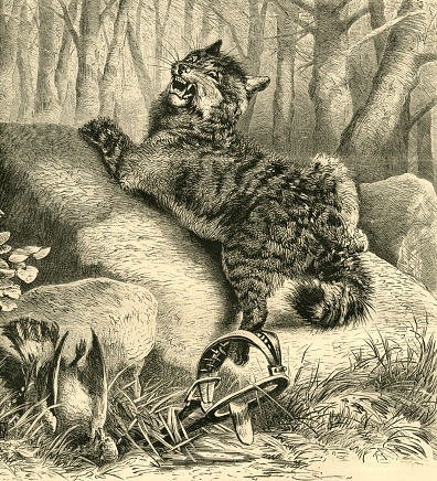 Wild cat caught in a trap - Victorian engraving
