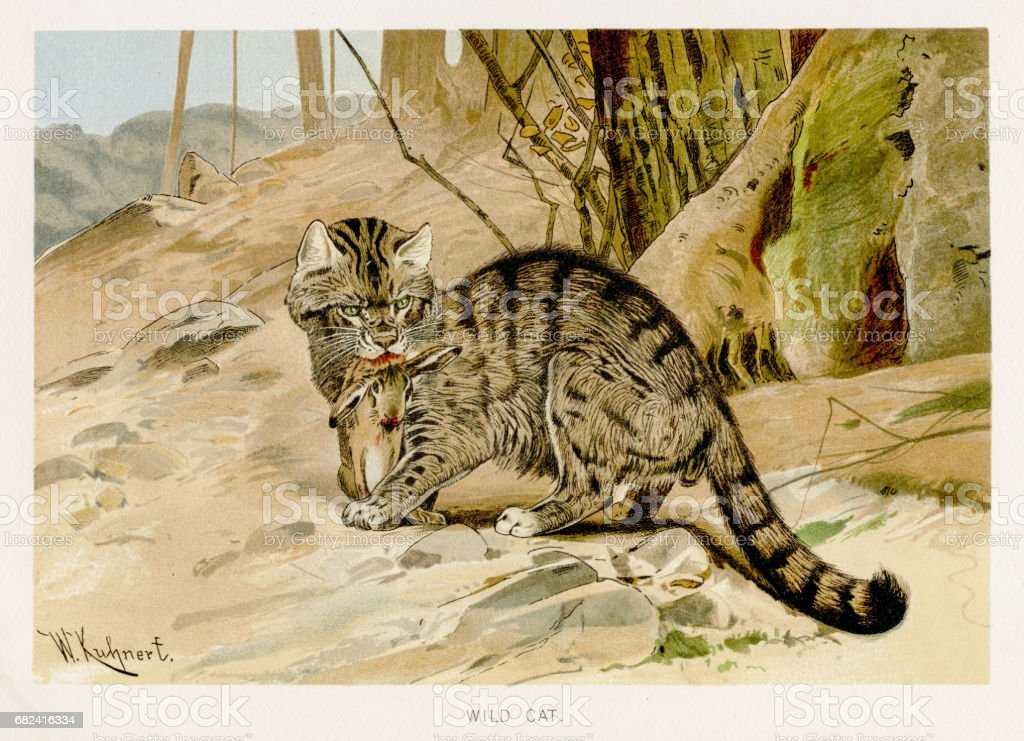 Wild cat lithograph 1894 royalty-free wild cat lithograph 1894 stock vector art & more images of animal