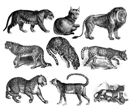 Wild Cats - Tiger, Lion, Lynx, Cheetah, Jaguar, Leopard