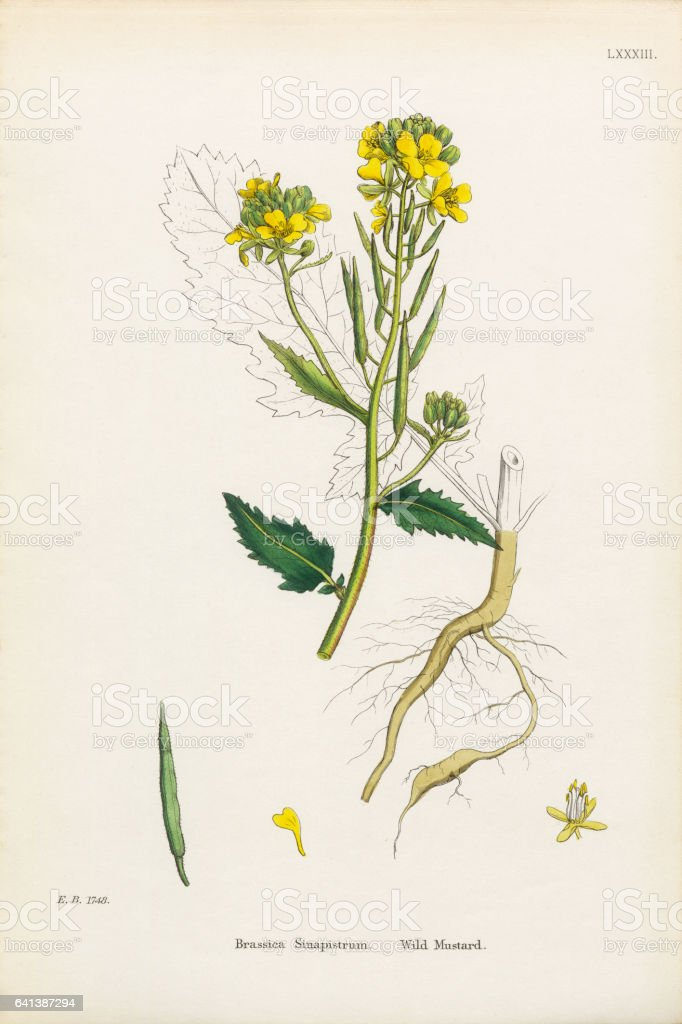 Wild Mustard, Brassica Sinapistrum, Victorian Botanical Illustration, 1863 vector art illustration