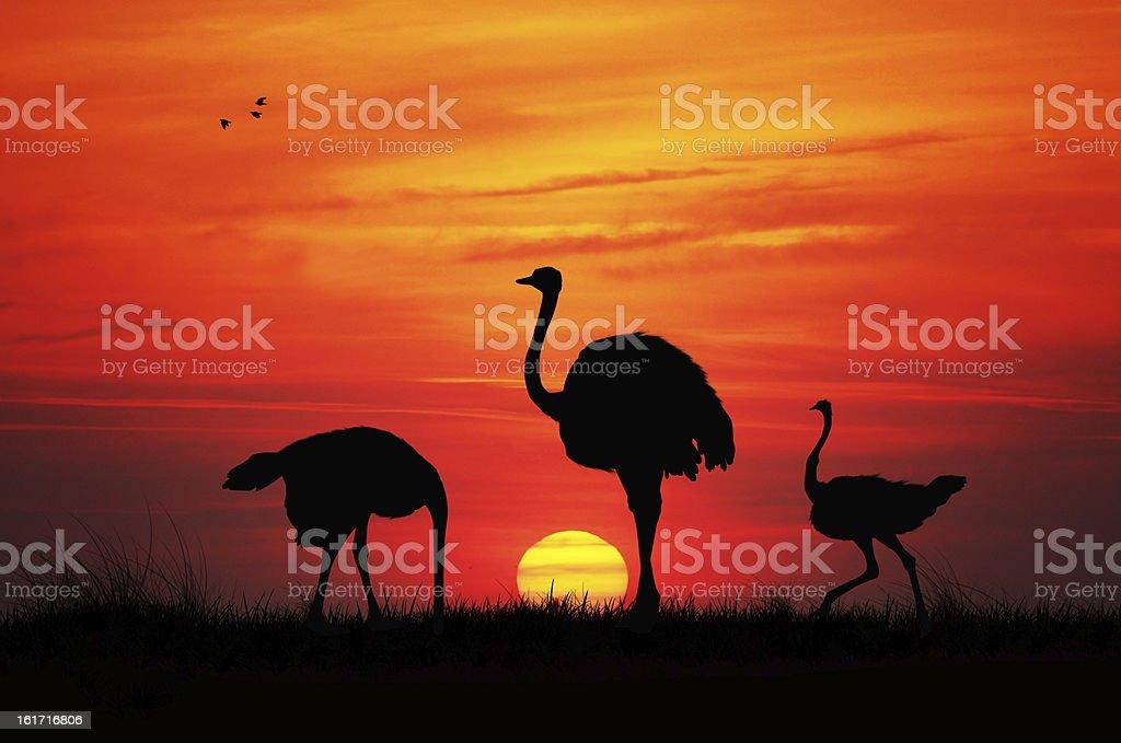 Wild ostriches vector art illustration