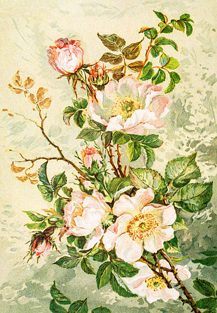 Wild rose 19 century illustration A digitally restored image of an original antique litho by Julius Hoeppner (1839-1893) from Schule der Blumenmalerei published in 1890. wild rose stock illustrations