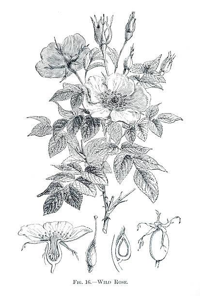 Wild rose engraving 1898 Wild rose engraving 1898 wild rose stock illustrations