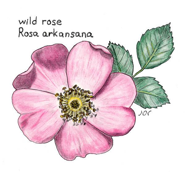 wild rose, Rosa arkansana, botanical drawing in colored pencil Botanical illustration of wild rose,  wild rose stock illustrations
