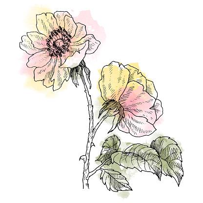 야생 장미 꽃 분기 흰색 절연 합니다 빈티지 식물 손으로 그려진 수채화 자리와 그림 봄 정원 장미 개 장미 꽃입니다 꽃 개념입니다 식물 개념 개체 그룹에 대한 스톡 벡터 아트 및 기타 이미지