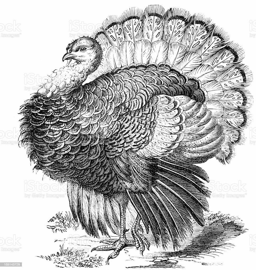 Wild Turkey (Meleagris Gallopavo) vector art illustration