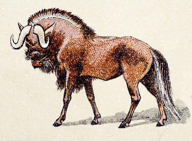 Best Wildebeest Illustrations, Royalty-Free Vector ...